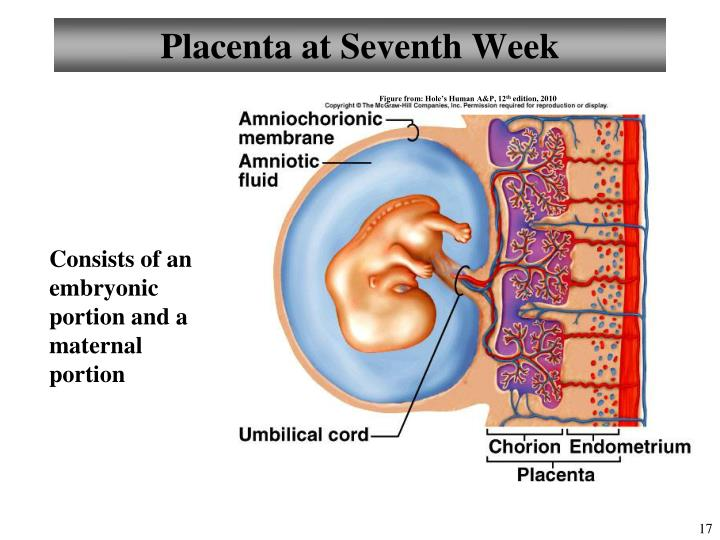 Placenta at Seventh Week
