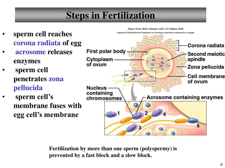 Steps in Fertilization