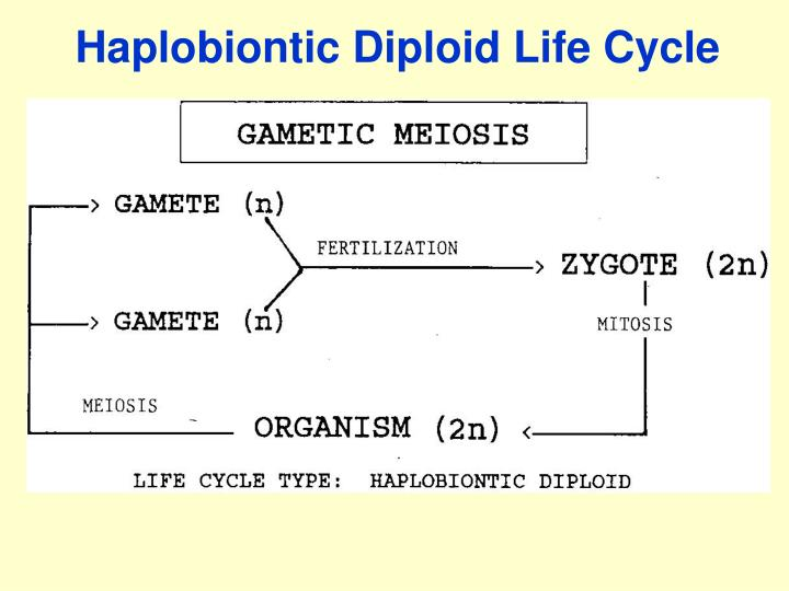 Haplobiontic Diploid Life Cycle