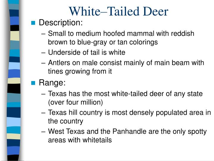 White–Tailed Deer