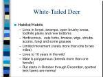 white tailed deer1