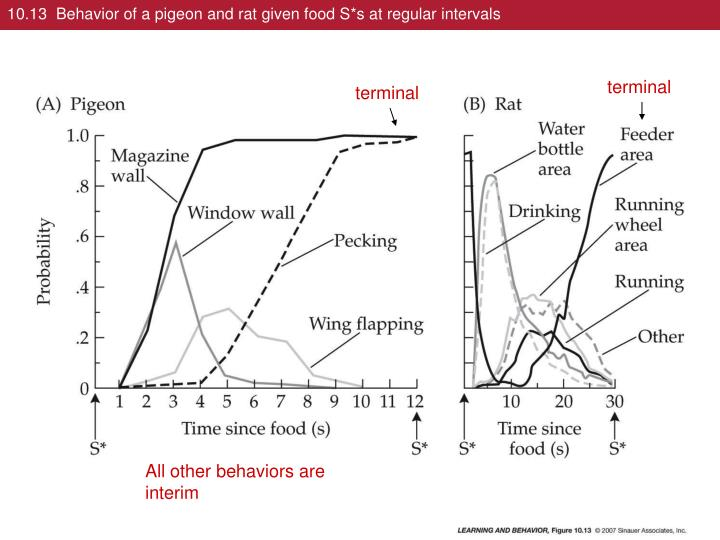 10.13  Behavior of a pigeon and rat given food S*s at regular intervals
