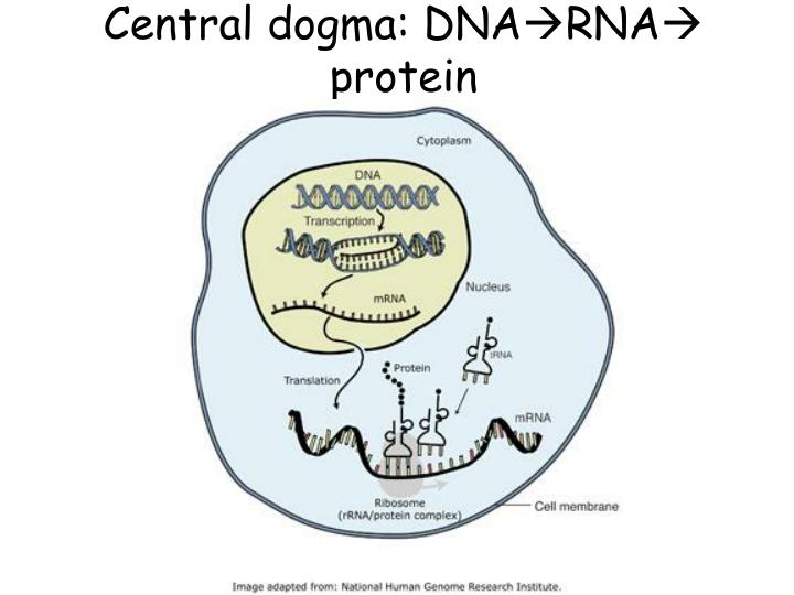 Central dogma: DNA