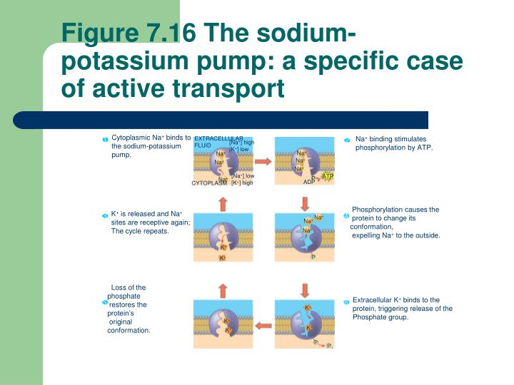 Figure 7.16 The sodium-potassium pump: a specific case of active transport