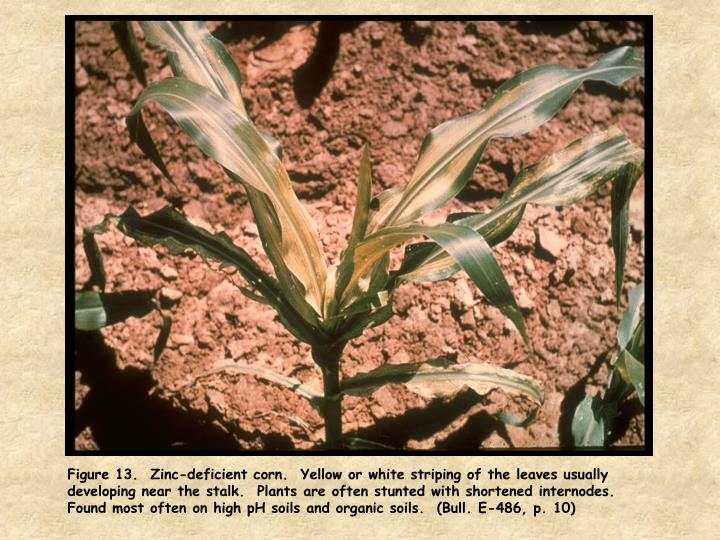 Figure 13.  Zinc-deficient corn.  Yellow or white striping of the leaves usually developing near the stalk.  Plants are often stunted with shortened internodes.  Found most often on high pH soils and organic soils.  (Bull. E-486, p. 10)