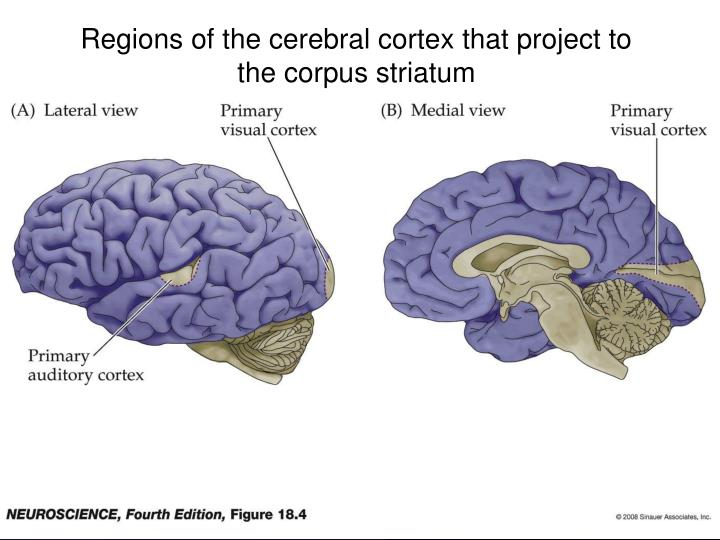 Regions of the cerebral cortex that project to the corpus striatum
