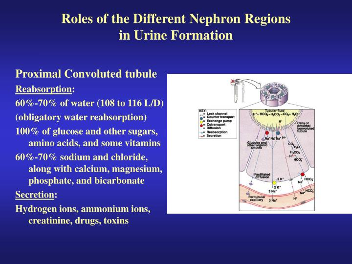 Roles of the Different Nephron Regions