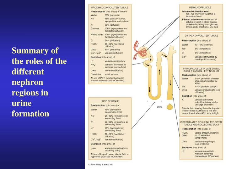 Summary of the roles of the different nephron regions in urine formation