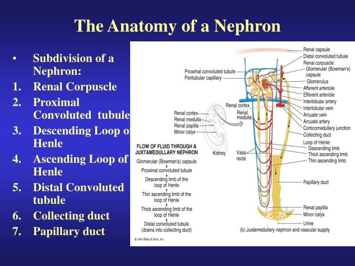 The Anatomy of a Nephron