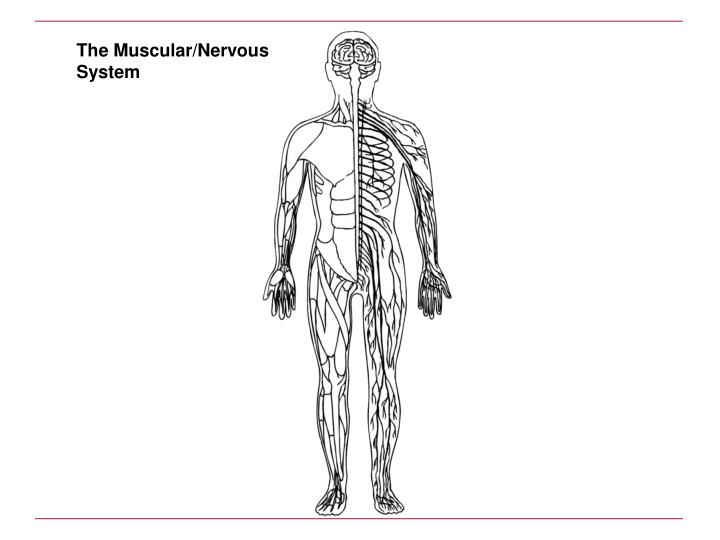 The Muscular/Nervous System