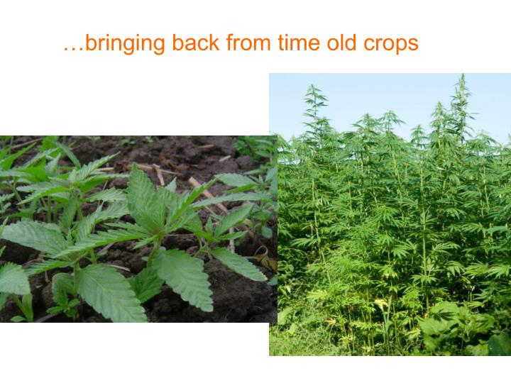 …bringing back from time old crops