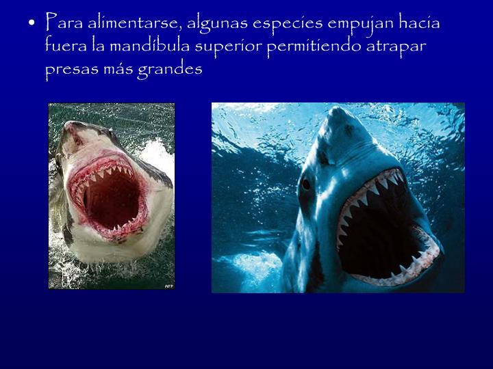 Para alimentarse, algunas especies empujan hacia fuera la mandbula superior permitiendo atrapar presas ms grandes