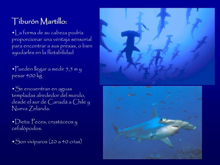 Tiburn Martillo: