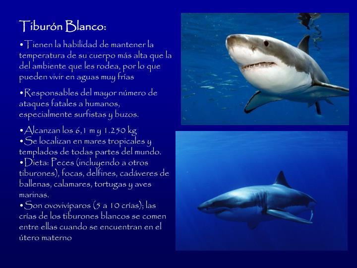 Tiburn Blanco: