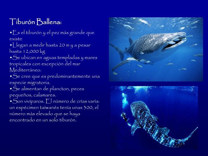 Tiburn Ballena:
