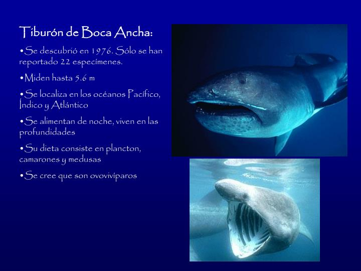 Tiburn de Boca Ancha: