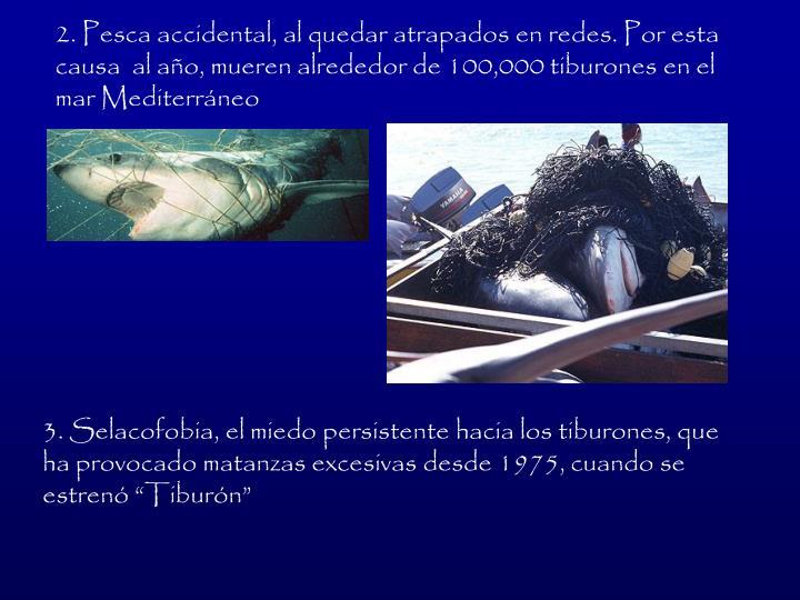 2. Pesca accidental, al quedar atrapados en redes. Por esta causa  al ao, mueren alrededor de 100,000 tiburones en el mar Mediterrneo