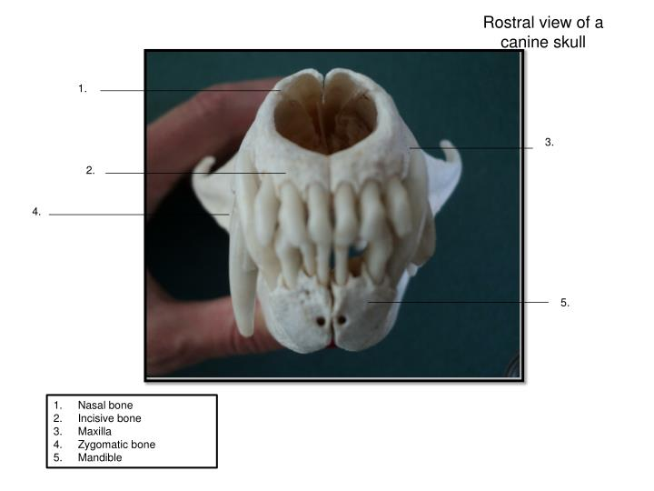 Rostral view of a canine skull
