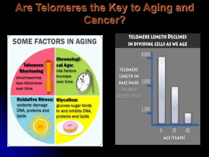 Are Telomeres the Key to Aging and Cancer?