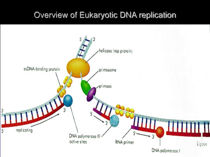 Overview of Eukaryotic DNA replication