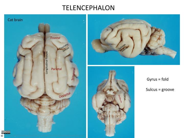 TELENCEPHALON