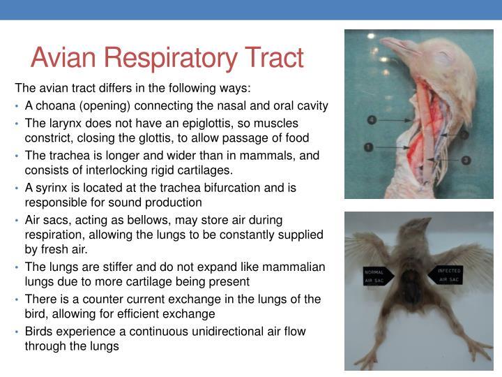 Avian Respiratory Tract