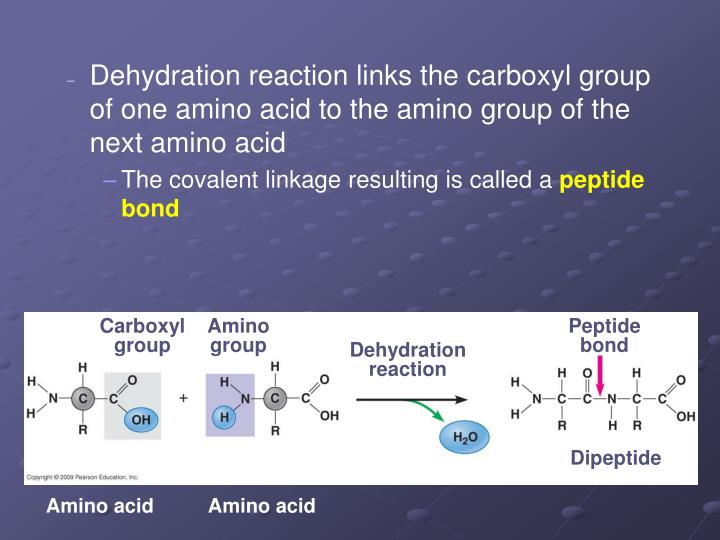 Dehydration reaction links the carboxyl group of one amino acid to the amino group of the next amino acid