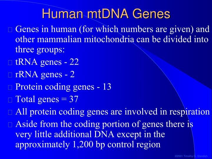 Human mtDNA Genes