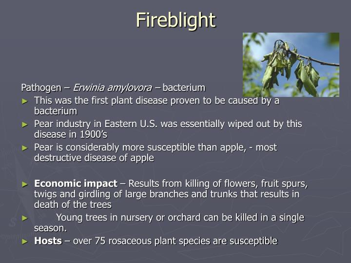 Fireblight