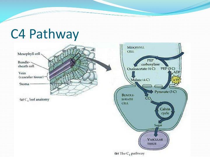 C4 Pathway