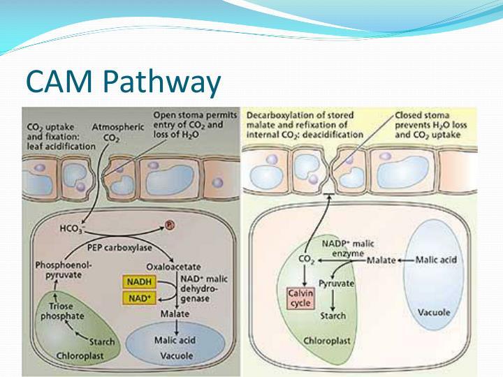 CAM Pathway