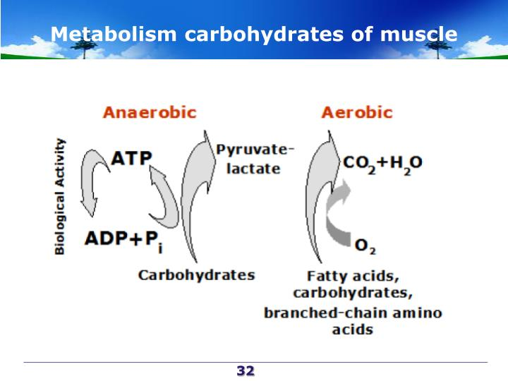 Metabolism carbohydrates of muscle