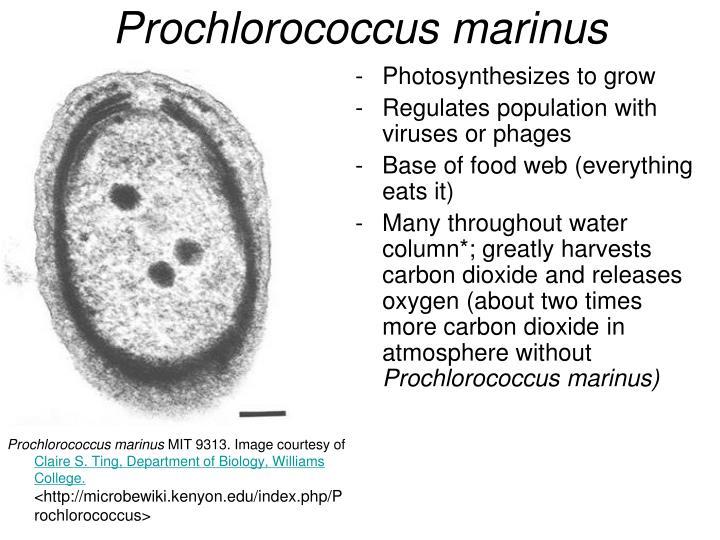 Prochlorococcus marinus