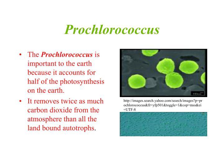 Prochlorococcus