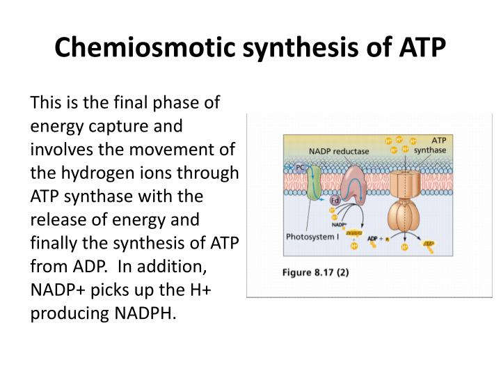 Chemiosmotic synthesis of ATP