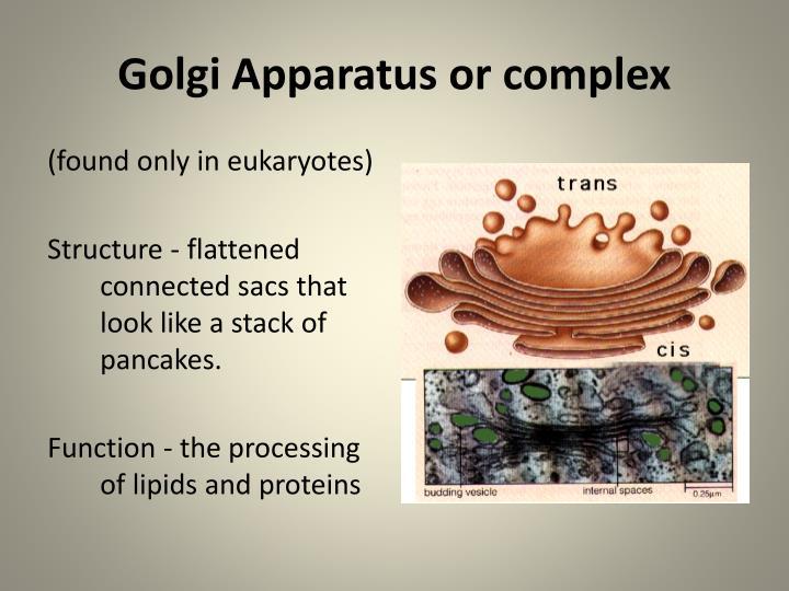 Golgi Apparatus or complex