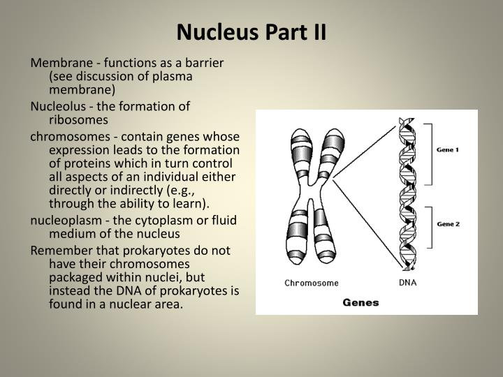 Nucleus Part II
