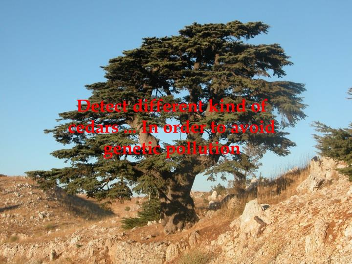 Detect different kind of cedars ... In order to avoid genetic pollution