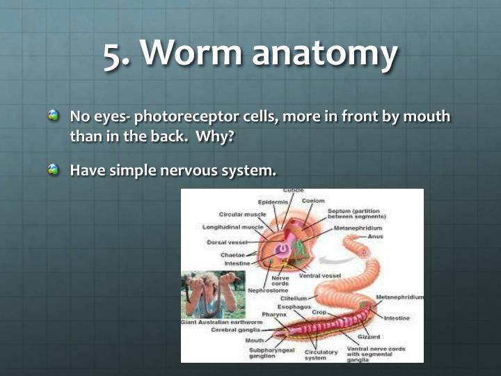 5. Worm anatomy