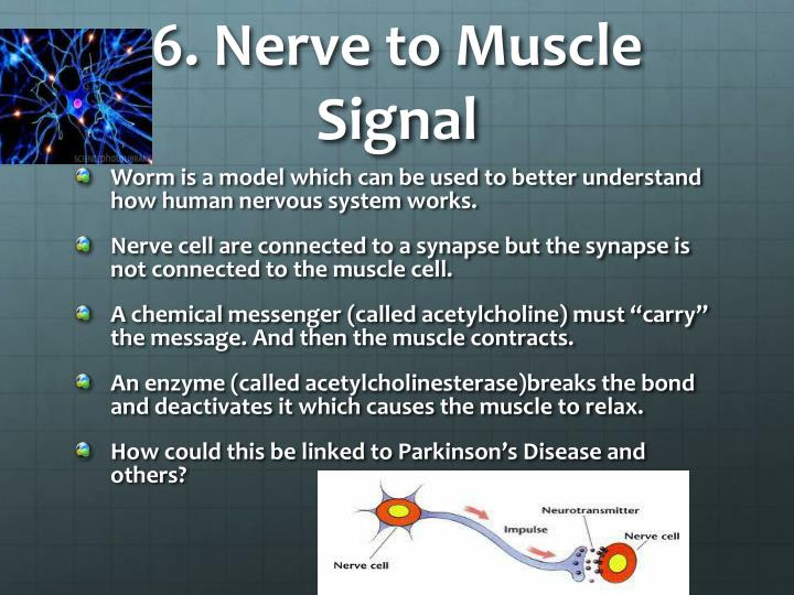 6. Nerve to Muscle Signal
