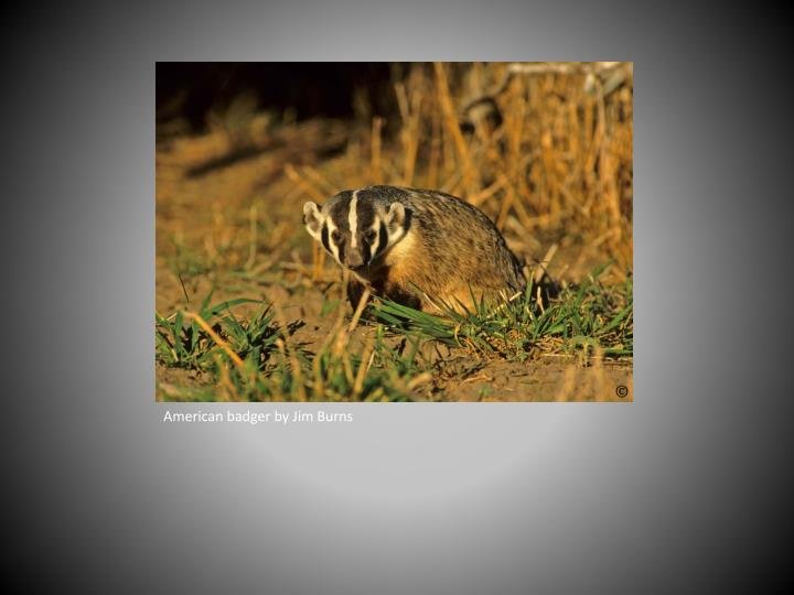 American badger by Jim Burns