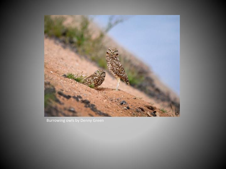 Burrowing owls by Denny Green