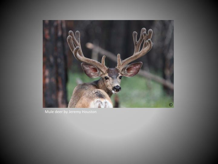 Mule deer by Jeremy Houston