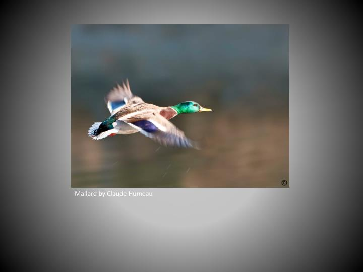 Mallard by Claude Humeau