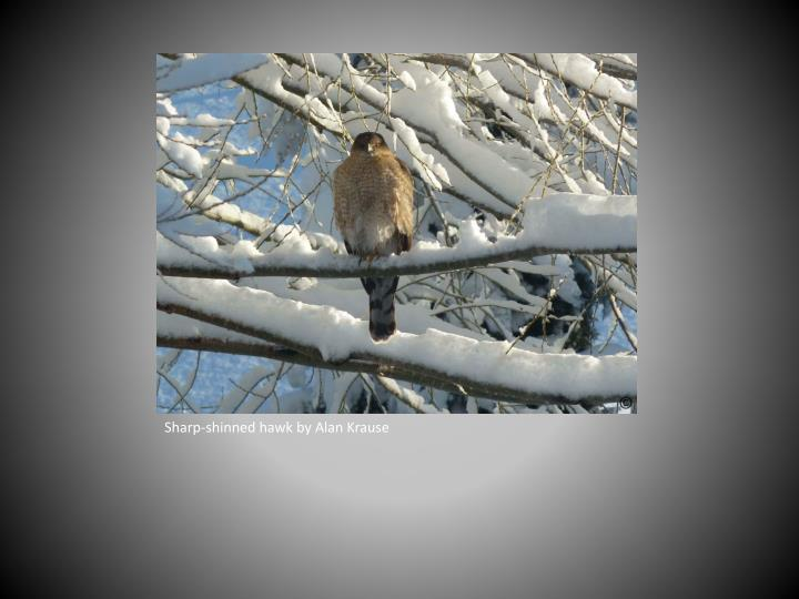 Sharp-shinned hawk by Alan Krause