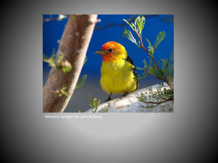 Western tanager by John Kulberg