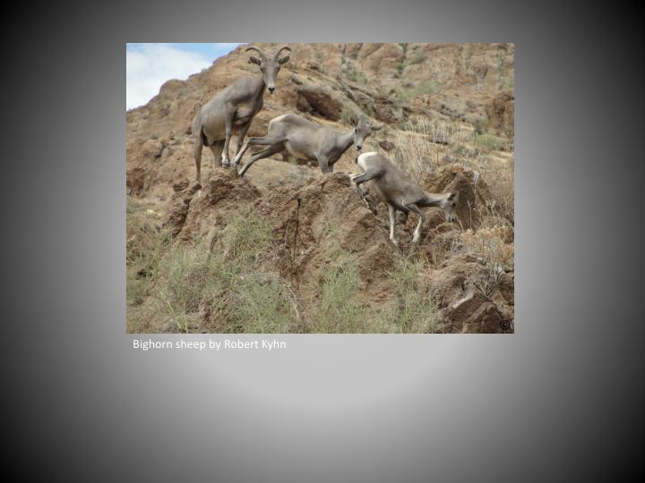 Bighorn sheep by Robert Kyhn
