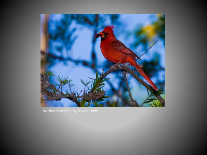 Northern cardinal by Steven Lewis