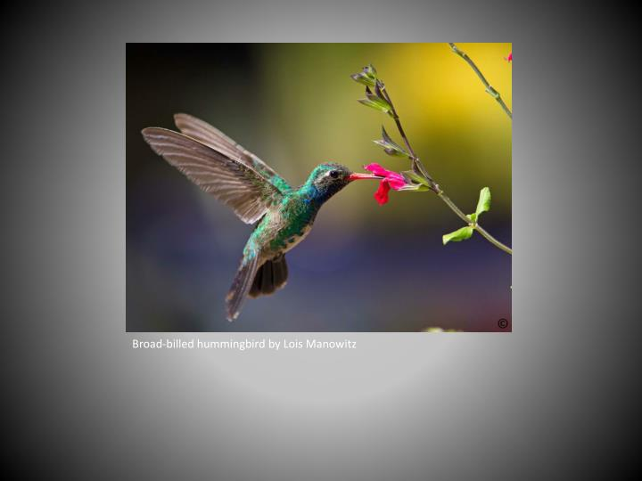 Broad-billed hummingbird by Lois Manowitz