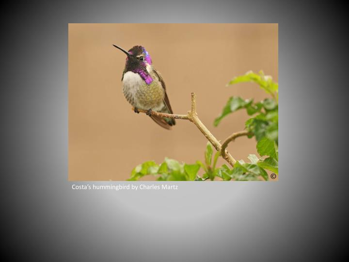 Costa's hummingbird by Charles Martz